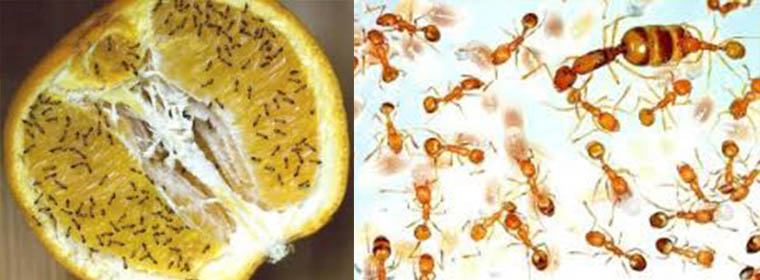 Image of pharaoh ants crawling over a piece of fruit