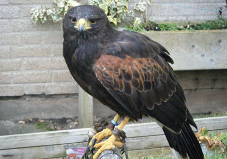 Still picture of a bird of prey used by Enviropest