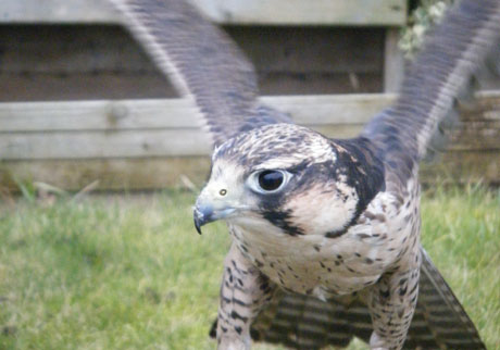 Picture of one of the birds of prey used by Enviropest in their pest control