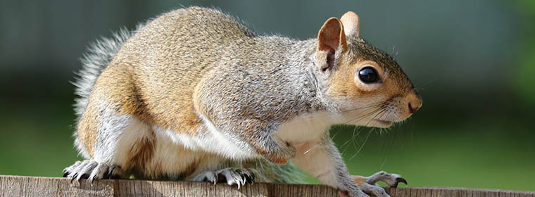 Picture of a common commercial and residential pest: the squirrel