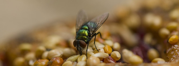 Picture of a fly feeding on seeds